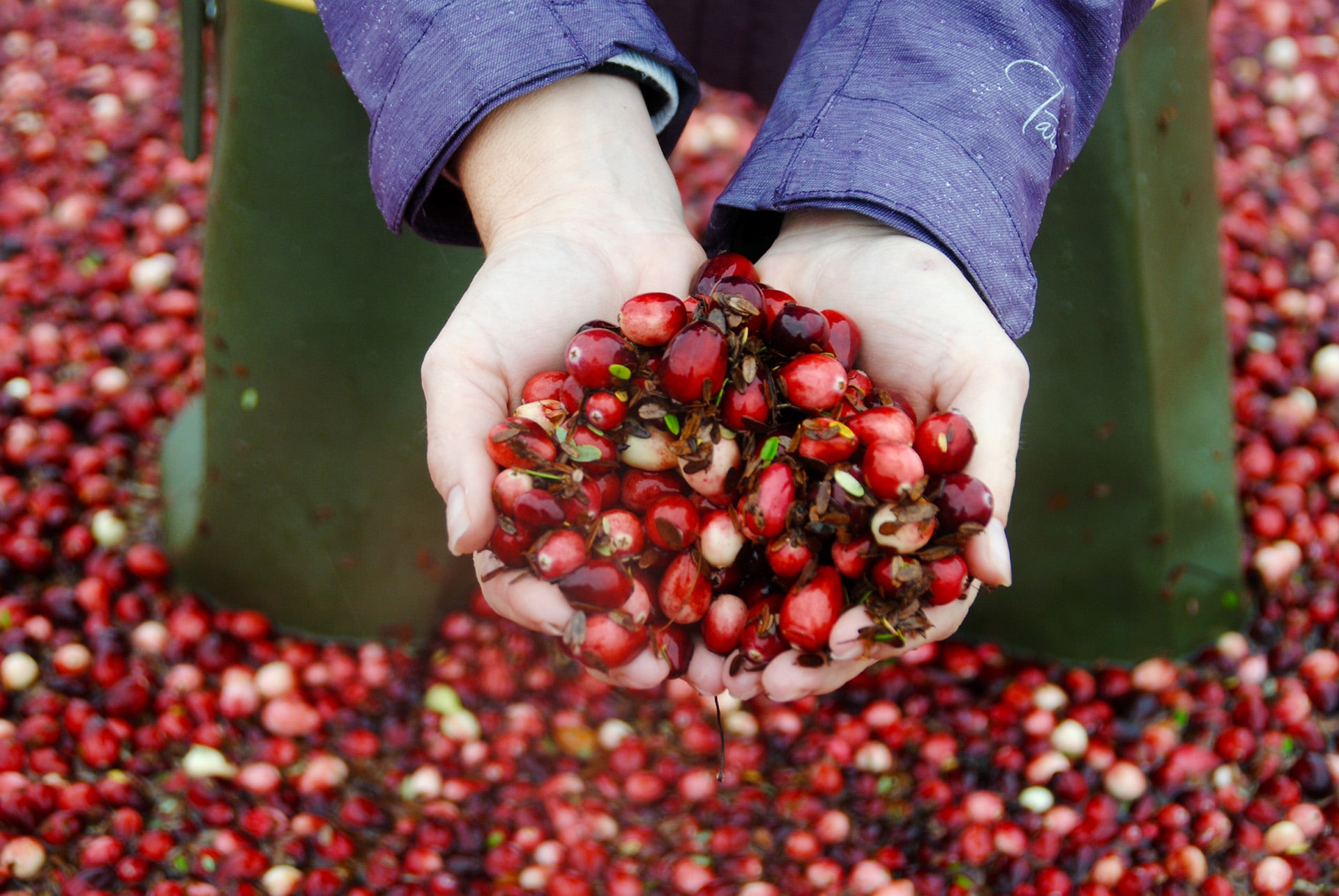 Person holding cranberries in a cranberry field